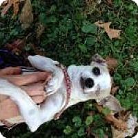 Adopt A Pet :: Olive Oil - Shawnee Mission, KS
