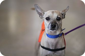 Italian Greyhound/Chihuahua Mix Dog for adoption in Los Angeles, California - Luis