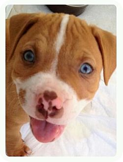 Pit Bull Terrier Puppy for adoption in Sacramento, California - Red