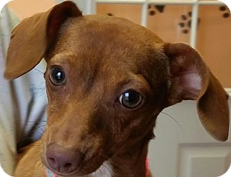Dachshund Mix Dog for adoption in Arlington, Texas - Allie