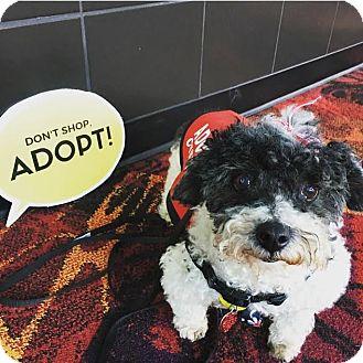 Poodle (Toy or Tea Cup) Mix Dog for adoption in Philadelphia, Pennsylvania - TIGG!
