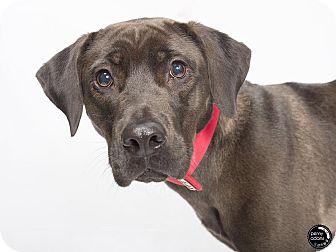 Labrador Retriever/Weimaraner Mix Dog for adoption in kennebunkport, Maine - Pepper - in Maine