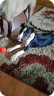Bull Terrier Mix Puppy for adoption in Albemarle, North Carolina - Cora