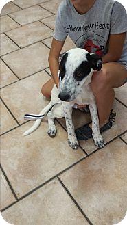 Australian Cattle Dog/Labrador Retriever Mix Puppy for adoption in Mesa, Arizona - Lone Ranger