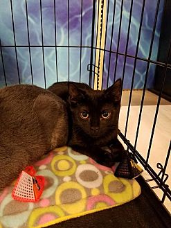 Domestic Shorthair Cat for adoption in Arlington/Ft Worth, Texas - Ferguson