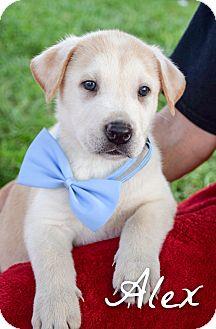Pharaoh Hound/Labrador Retriever Mix Puppy for adoption in DFW, Texas - Alex