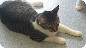 Domestic Shorthair Cat for adoption in El Cajon, California - C.C.
