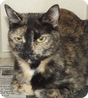 Domestic Shorthair Cat for adoption in Cheboygan, Michigan - Sweetpea