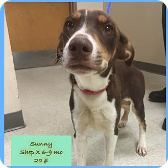 Shepherd (Unknown Type) Mix Puppy for adoption in Janesville, Wisconsin - Sunny