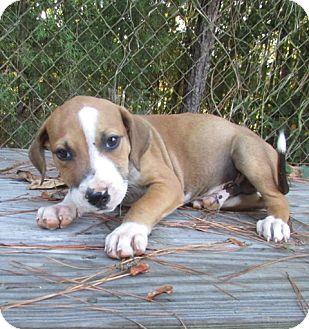 Hound (Unknown Type) Mix Puppy for adoption in Warrenton, North Carolina - Dillon