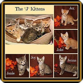 Domestic Shorthair Kitten for adoption in Marietta, Ohio - Jake Jax Janie Jenna & Joy