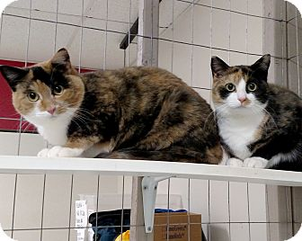 Calico Cat for adoption in Winchendon, Massachusetts - Bridgette & Claire