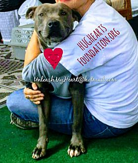 American Staffordshire Terrier/Pit Bull Terrier Mix Dog for adoption in Hermosa, California - Soft Petal