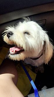 Maltese Mix Dog for adoption in Los Angeles, California - Jackson