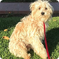 Adopt A Pet :: Chandler - Los Angeles, CA