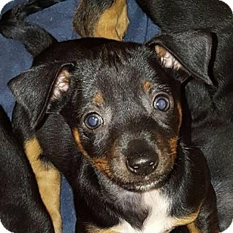 Miniature Pinscher Puppy for adoption in Nesbit, Mississippi - Ida (adopted 4/17/17)