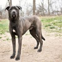 Adopt A Pet :: Murray - Kansas City, MO