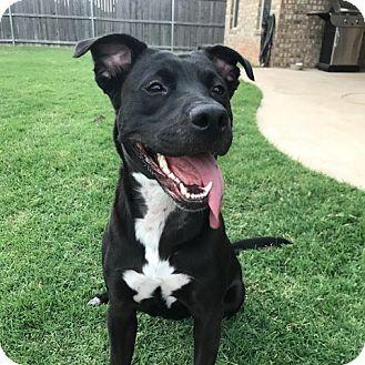 Labrador Retriever/American Staffordshire Terrier Mix Dog for adoption in Oklahoma City, Oklahoma - Lucia