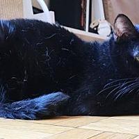 Adopt A Pet :: Shaya - New York, NY