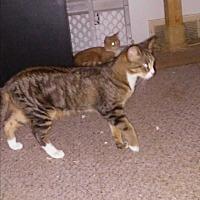 Adopt A Pet :: Stripe- Bengal/rb mix - wayne, MI