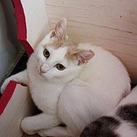 Adopt A Pet :: Soybean (Manhattan) - New York, NY