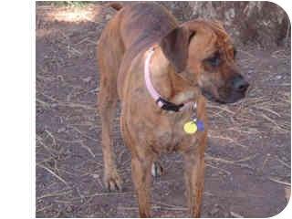 Labrador Retriever/Boxer Mix Dog for adoption in Scottsdale, Arizona - Teegan