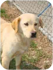Labrador Retriever Mix Dog for adoption in Hammonton, New Jersey - daffodil
