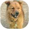 Chow Chow/Golden Retriever Mix Dog for adoption in Eagle, Colorado - Bear