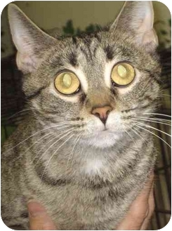 Domestic Shorthair Cat for adoption in Alden, Iowa - Fiona
