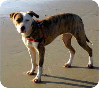 American Pit Bull Terrier/Whippet Mix Dog for adoption in Portland, Oregon - Jelly Bean