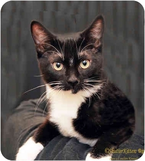 Domestic Shorthair Kitten for adoption in San Diego, California - Apollo