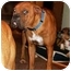 Photo 2 - Boxer Dog for adoption in W. Columbia, South Carolina - Bubba