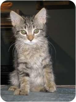 Domestic Mediumhair Kitten for adoption in Houston, Texas - Bugsy