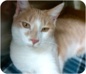 Domestic Shorthair Cat for adoption in Raritan, New Jersey - Duffy