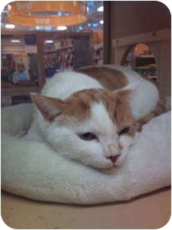 Domestic Shorthair Cat for adoption in Modesto, California - Sonny