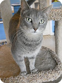 Domestic Shorthair Cat for adoption in LaGrange, Kentucky - Kai