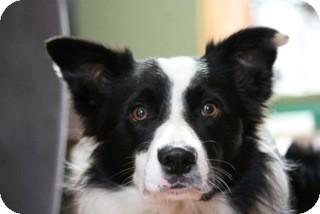 Border Collie Dog for adoption in Huntsville, Ontario - Jersey - Border Collie!