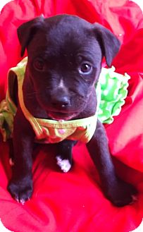 Labrador Retriever/Staffordshire Bull Terrier Mix Puppy for adoption in Irvine, California - Sweet DAISY
