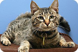 Domestic Shorthair Kitten for adoption in Bellingham, Washington - Dimitri