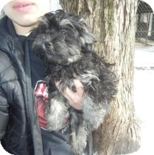 Havanese/Poodle (Toy or Tea Cup) Mix Puppy for adoption in Antioch, Illinois - Groucho