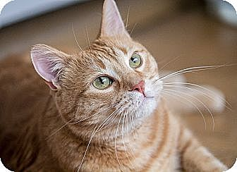 Domestic Shorthair Cat for adoption in Chicago, Illinois - Tigger