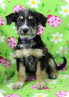 Schnauzer (Standard)/Cairn Terrier Mix Puppy for adoption in Westminster, Colorado - Gausman