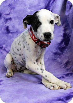 Pointer Mix Puppy for adoption in Westminster, Colorado - Torch