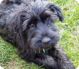 Giant Schnauzer Mix Puppy for adoption in Oswego, Illinois - I'M ADOPTED Lexi Radlinski