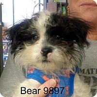 Adopt A Pet :: Bear - Greencastle, NC