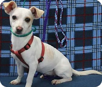 Chihuahua Mix Dog for adoption in Calgary, Alberta - Daphne