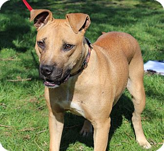 American Pit Bull Terrier Mix Dog for adoption in Elyria, Ohio - Lacy