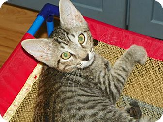 Domestic Shorthair Cat for adoption in Fort Pierce, Florida - STORMY