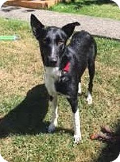 Border Collie Mix Dog for adoption in Vancouver, British Columbia - Hooper