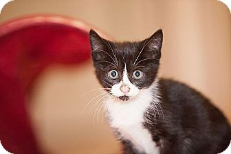 Domestic Shorthair Kitten for adoption in Tampa, Florida - Willow